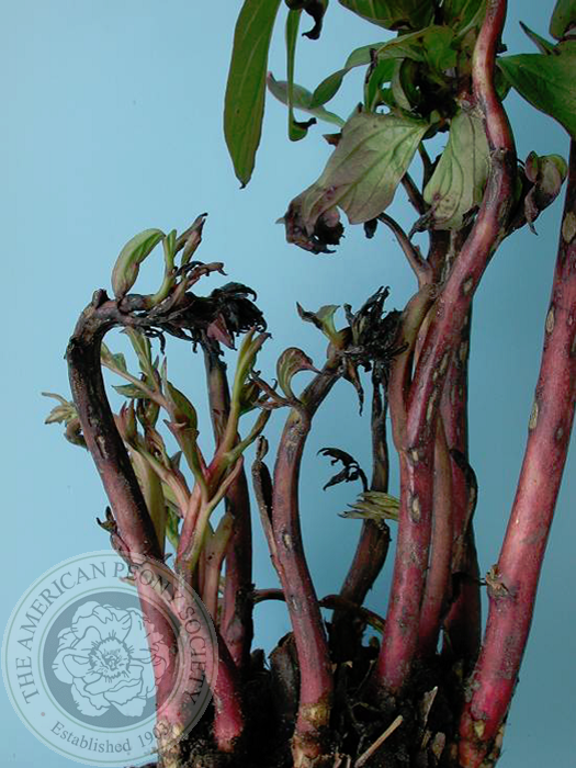 Peony Diseases and Pests | American Peony Society