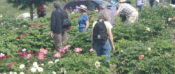 2020 American Peony Society Convention-Chicago Botanical Gardens - CANCELLED @ Chicago Botanical Gardens